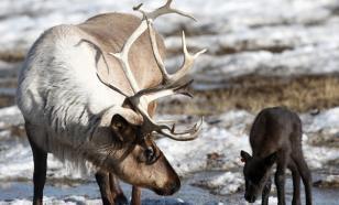 Северный олень возвращается в Керженские леса