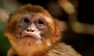 При закупке обезьян в научный центр РАН украли полмиллиарда рублей