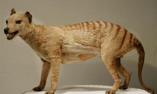 Учёные воссоздали 3D-модель вымершего в 1936 году тасманийского волка