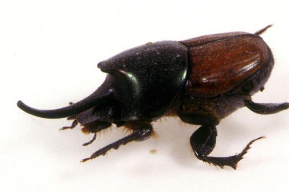 Рога у жуков генетически похожи на крылья