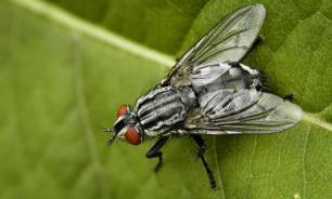 Семенная жидкость улучшает память у мух-дрозофил