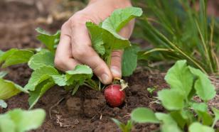 Что сеет главная дачница Октябрина Ганичкина в июне, как растит урожай