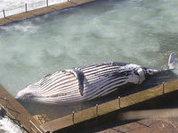 На пляж в Сиднее выбросило мертвого кита