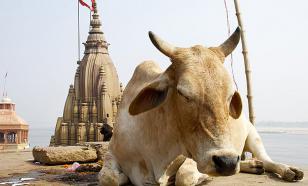 """Индия запускает производство """"суперполезной"""" краски из коровьего навоза"""