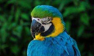 Биологи обнаружили у африканских попугаев склонность к альтруизму