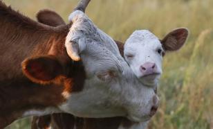 Вологодских коров будут доить шесть роботов