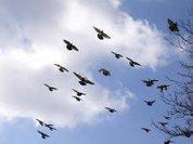 Инфразвук подсказывает птицам дорогу
