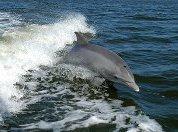 Дельфины скорбят по умершим
