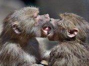 Человеческая речь произошла от поцелуя