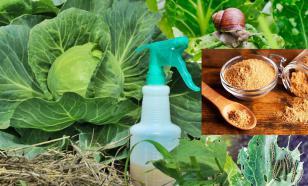Применение горчичного порошка в саду и огороде