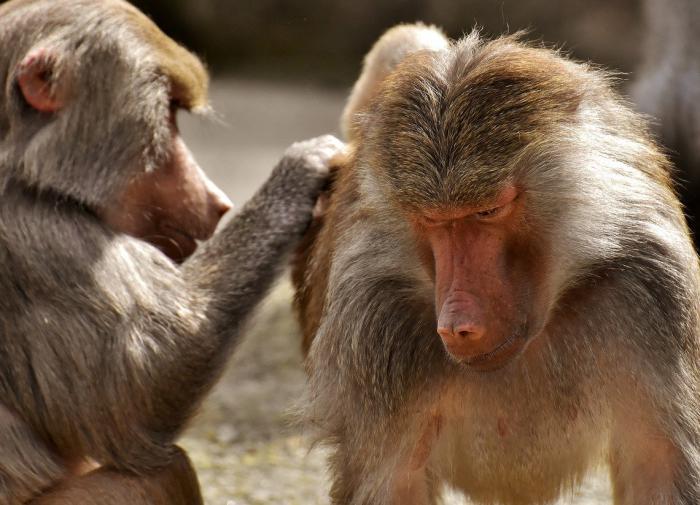 Самцы бабуинов, у которых есть подруги, живут дольше