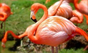 """Исследование: фламинго любят собираться """"компанией друзей"""""""