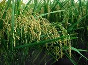 Новый рис против глобального потепления