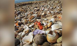 Тайфун выбросил на пляжи Приморья тысячи устриц и мидий
