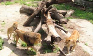 Калининградский зоопарк показывает жирафов и львов в прямом эфире