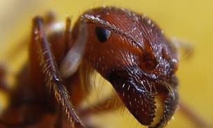 Вместе с мигрантами Британию наводнили тропические муравьи-призраки из Африки