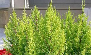 Какие хвойные растения подойдут для дома?