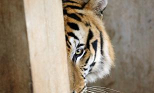 Золотодобытчики угрожают жизни амурских тигров, считают в ОНФ