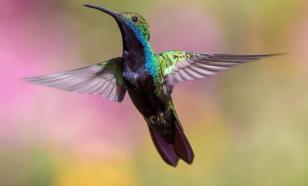 У диких колибри обнаружили способности к счёту