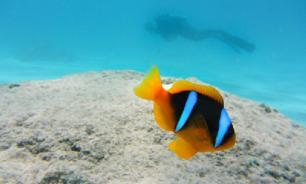 Рыбы-клоуны не способны адаптироваться к климатическим изменениям