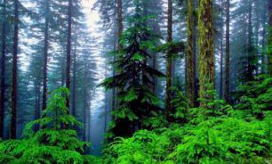 К 2070 году исчезнет 25% хвойных деревьев