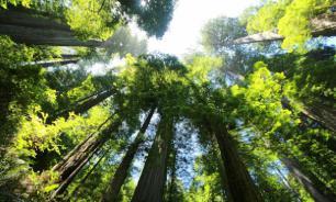 В США турист скончался в заповеднике из-за падения секвойи