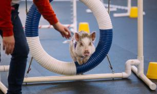 Астролог: год свиньи хорош для семьи