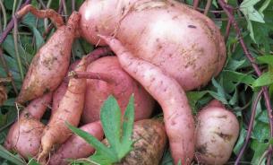 Сладкий картофель вырос в Гондване