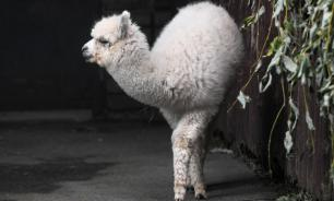 В Московском зоопарке родилась белоснежная альпака