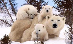 Жители чукотского поселка стали заложниками 64 белых медведей
