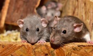 Нейробиологи научили крыс водить маленькие автомобили