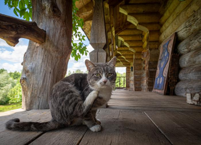 Кошачья мята защищает кошек от комаров