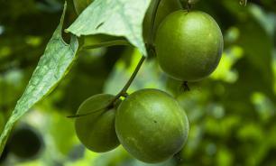 Ученые из Китая обнаружили фрукт, замедляющий старение