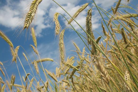 США предсказали России рекордный урожай пшеницы