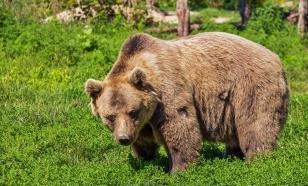 В этнопарке Коми медведь растерзал двух лосей