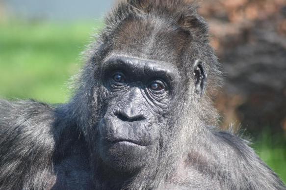 Офтальмологи из США впервые провели операцию на глазу у гориллы