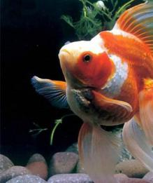 Откуда берутся рыбки в наших аквариумах?