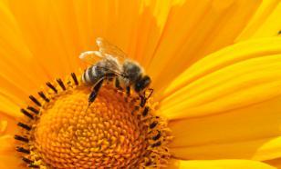 Исследование: пчёлы пьют нектар двумя способами
