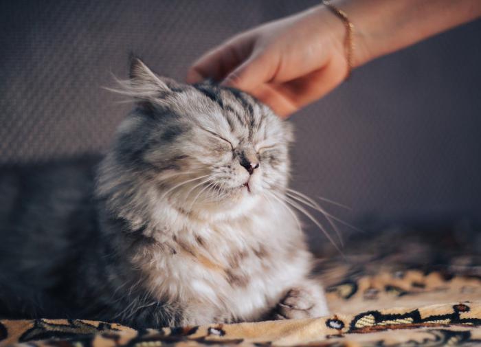 Канадские ветеринары разработали шкалу для диагностики боли у кошек