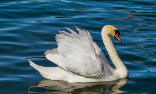 В Казани спасли заблудившегося лебедя