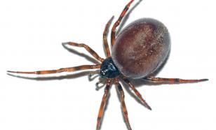 В Европе обнаружены пауки с клыками, переносящие опасные бактерии
