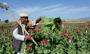 "Представитель ""Талибана""*: Афганистан не будет производить наркотики"