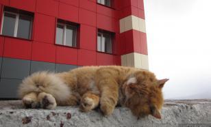 Умер знаменитый кот-песец Кеша, живший на Шпицбергене