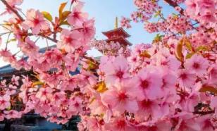 В Японии из-за коронавируса отменили фестиваль сакуры