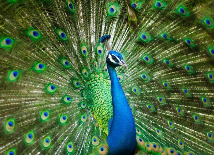 Орнитологи раскрыли секрет различий между самцами и самками птиц