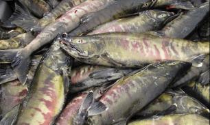 Катаклизм у лососевых. Рыба объявила голодовку в США и Японии