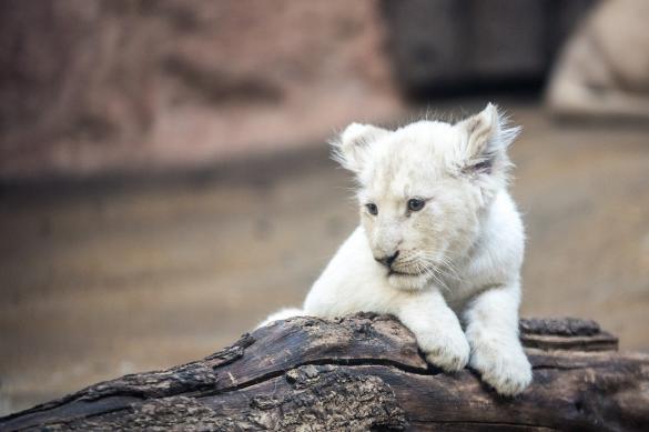 В Армении родились редкие белые львята