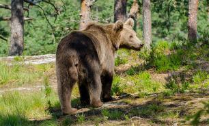 В Приамурье медведь устроил гонки с автомобилем