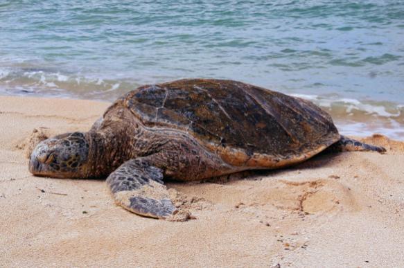 В Охотском море поймали морскую черепаху