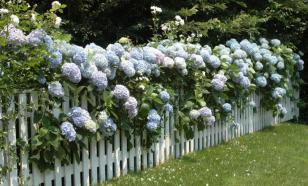 Цветы для посадки по периметру участка